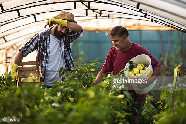 Father and son picking paprika in their greenhouse.