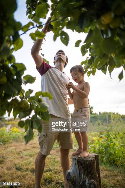 Father and son picking pears from backyard garden, Langley, British Columbia, Canada