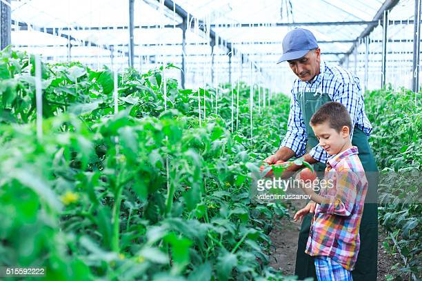 Father and son revise tomato palnts in greenhouse
