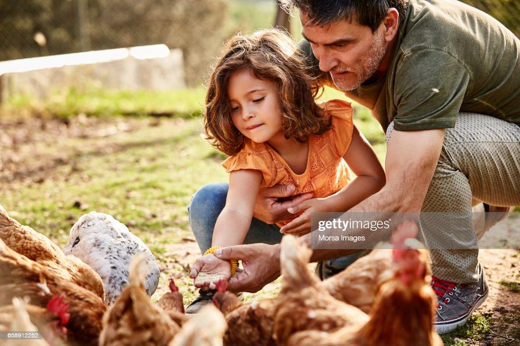 Padre a hija en la alimentación de las gallinas en la granja : Foto de stock