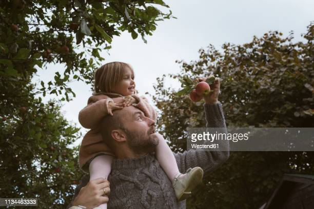 father carrying his little daughter on shoulders - schulter stock-fotos und bilder