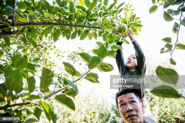 father carrying son shoulders while harvesting in orchard - choosing stock pictures, royalty-free photos & images