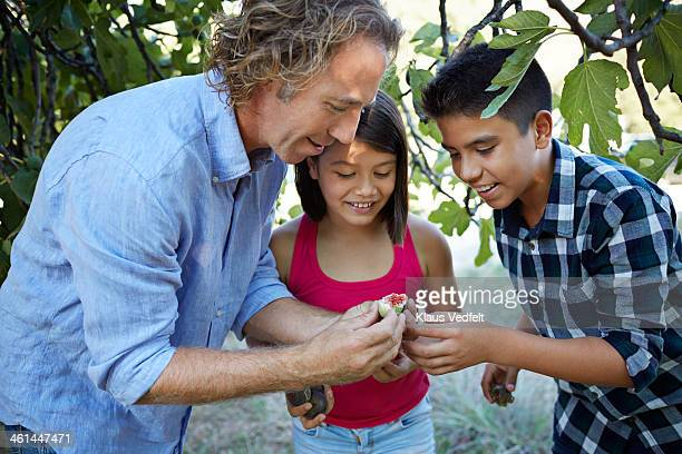 father showing his children how to open fresh fig - fig tree stock pictures, royalty-free photos & images