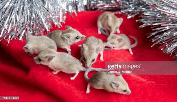 Fattailed dunnarts get into the Christmas spirit at Wild Life Sydney Zoo on December 21 2017 in Sydney Australia A variety of native animals were...