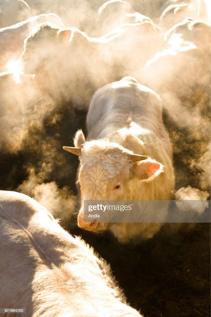 Charolais young bulls. : News Photo