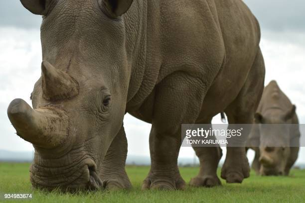 Fatu and Najin the only two remaining female northern white rhinos graze in a paddock on March 20 2018 at the olPejeta conservancy in Nanyuki north...