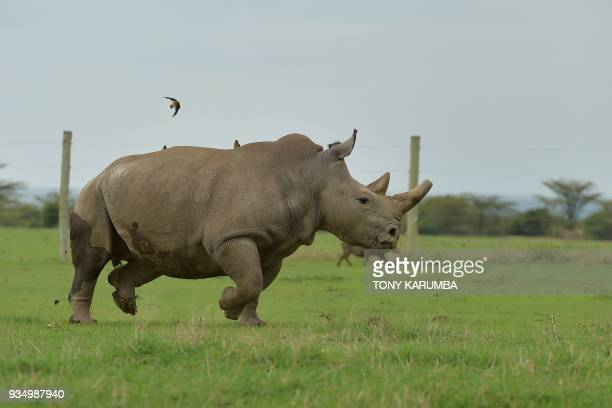 Fatu one of the only two remaining female northern white rhino runs in her paddock on March 20 2018 at the olPejeta conservancy in Nanyuki north of...
