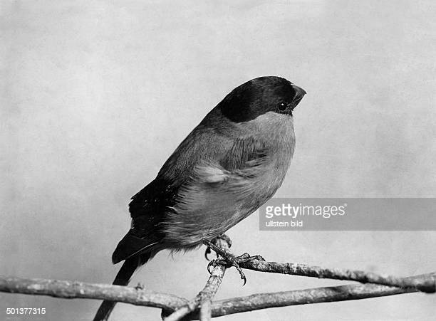 Closeup view of an Eurasian Bullfinch undated probably around 1910 Photographer Haeckel Published by Koralle 8/1942