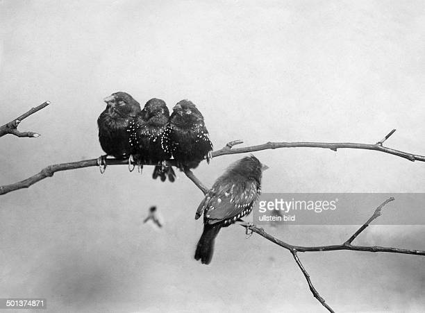 Closeup view of Red Munia Red Avadavat or Strawberry Finch undated probably around 1910 Photographer Haeckel