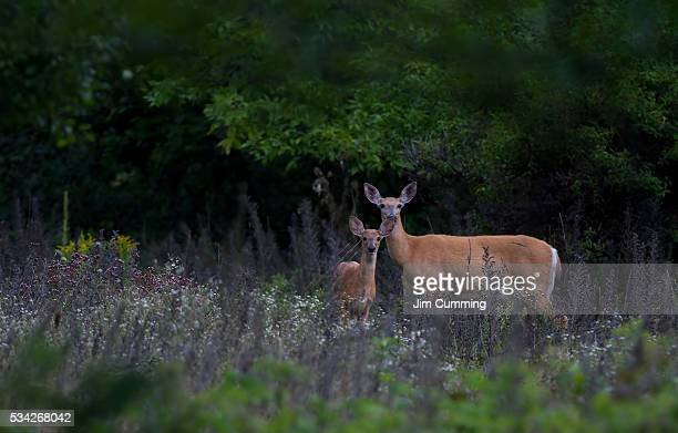 fawn and doe - white tail deer stock photos and pictures