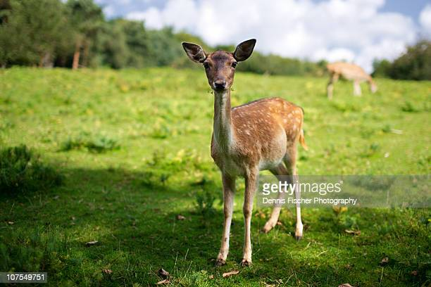 fawn bambi - fawn stock photos and pictures