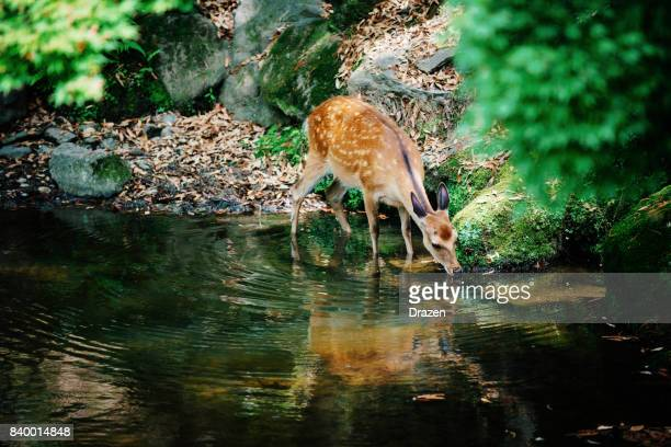 fawn drinking water from creek in forest - deer stock pictures, royalty-free photos & images