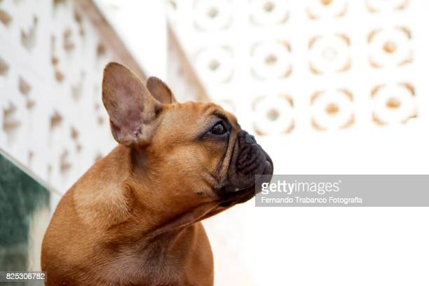 Fawn French Bulldog