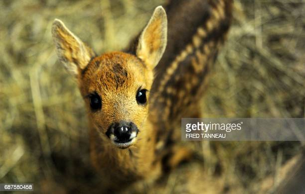 A fawn is pictured at the Volee de piafs wild animals center on May 16 2017 in Languidic near Lorient western of France The Volee de piafs wild...
