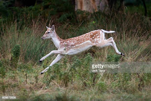 A fawn leaps through the air in Richmond Park on September 22 2016 in London England Today marks the first day of autumn also known as the autumn...