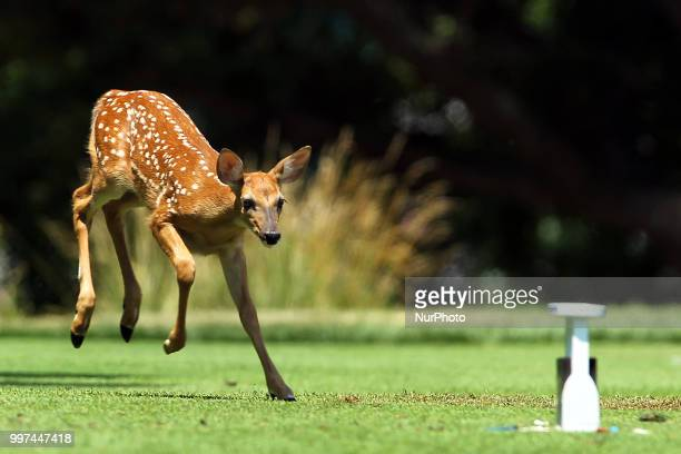 A fawn leaps toward the tee marker at the 2nd tee box during the first round of the Marathon LPGA Classic golf tournament at Highland Meadows Golf...