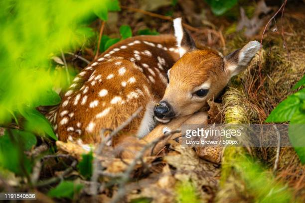 fawn lying curled up, canada - mammal stock pictures, royalty-free photos & images