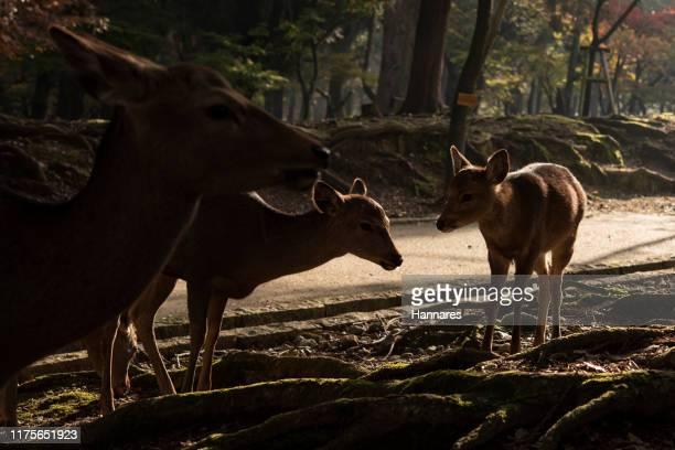 fawn - chevreuil photos et images de collection