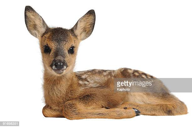 fawn - young animal stock pictures, royalty-free photos & images