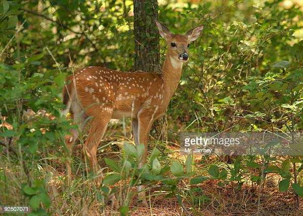 fawn - white tail deer stock photos and pictures