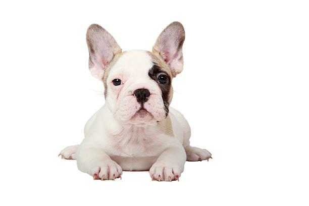 Fawn Pied French Bulldog Puppy Wall Art