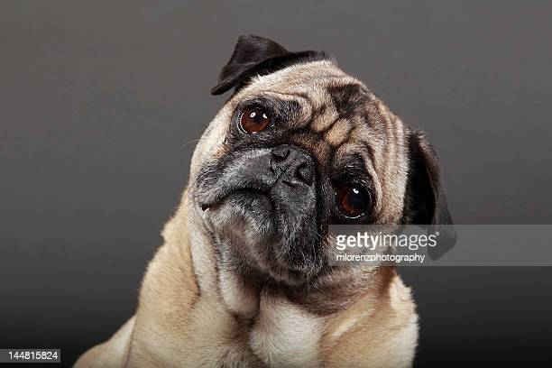 fawn pug - tilt stock pictures, royalty-free photos & images