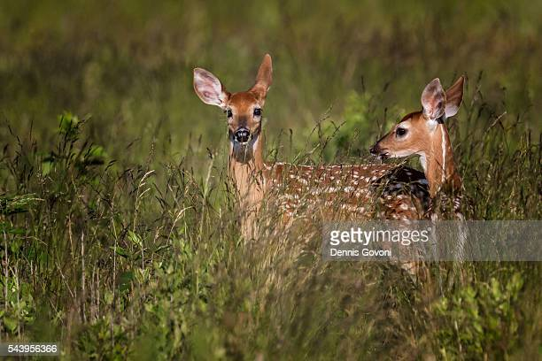 fawn siblings at big meadows - big meadows stock pictures, royalty-free photos & images