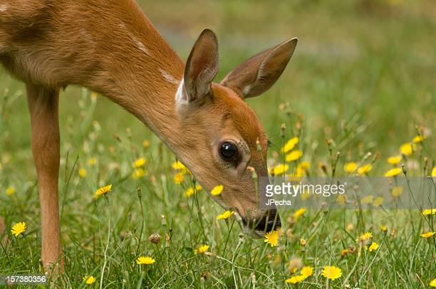 fawn smelling the flowers - talk:shenandoah_national_park stock pictures, royalty-free photos & images