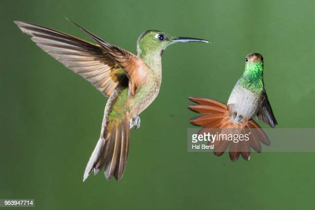 fawn-breasted brilliant and rufous-tailed hummingbirds flying - braunschwanzamazilie stock-fotos und bilder