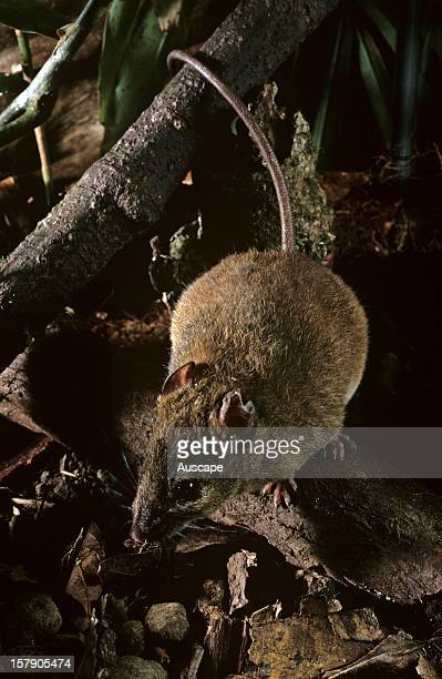 Fawnfooted melomys nocturnal native rodent Cape Tribulation Daintree National Park North Queensland Australia