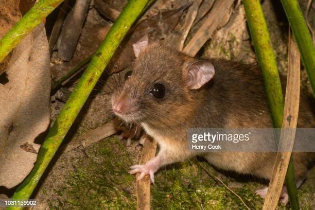 fawn-footed melomys (melomys cervinipes) - melomys rodent stock photos and pictures