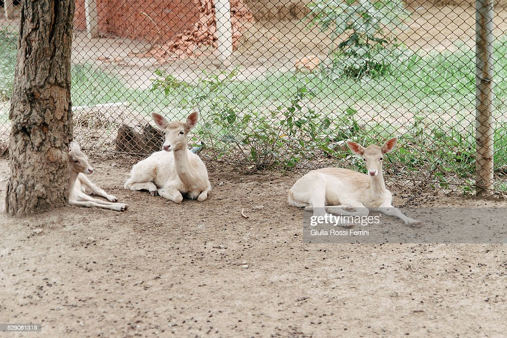 Fawns : Stock Photo