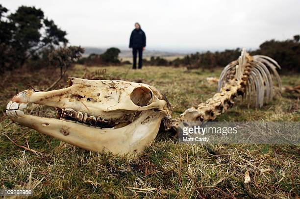 Faye Stacey a pony welfare officer for the charity South West Equine Protection stands besides the carcass of dead pony that has fallen on Bodmin...