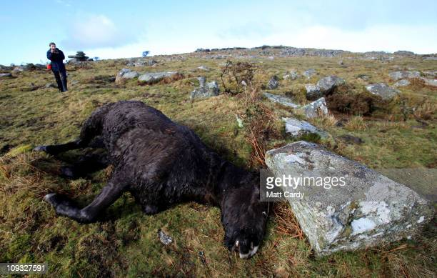 Faye Stacey a pony welfare officer for the charity South West Equine Protection takes a photograph of the carcass of another dead pony that has...
