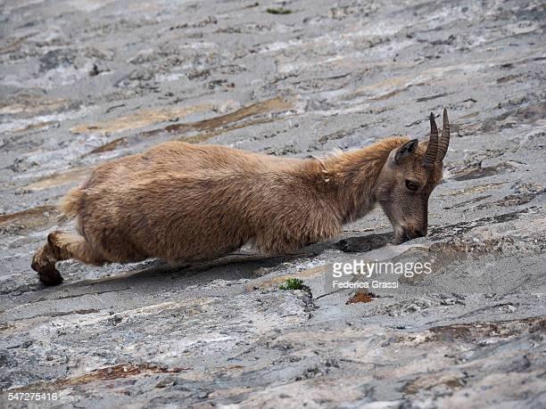 Fearless Climber Wild Goat On Steep Alpine Dam