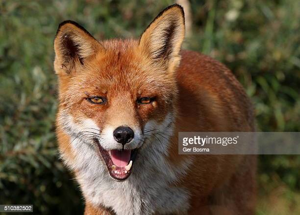 Fearless Red Fox