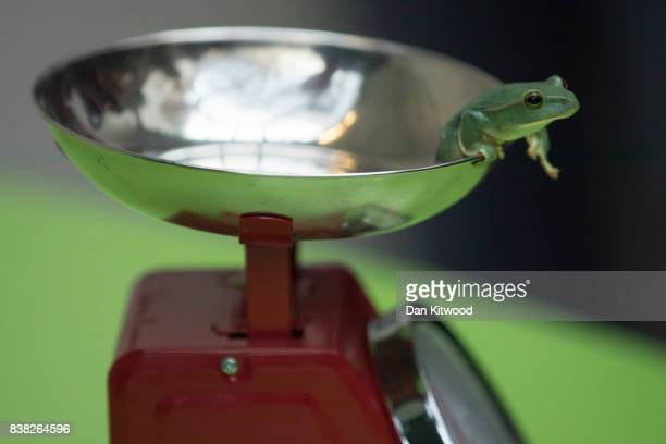 Fea's Flying Frog is weighed on a scale during a photocall to promote the London Zoo annual 'weigh-in' event on August 24, 2017 in London, England....