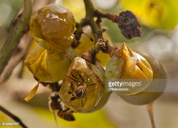 feast of grapes. - crmacedonio stock pictures, royalty-free photos & images