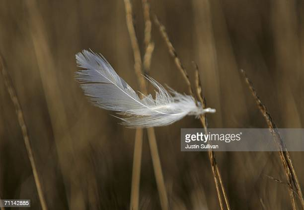 A feather caught on a blade of grass near a site where US Department of Agriculture biologists set up a mist net to catch and test shore birds that...
