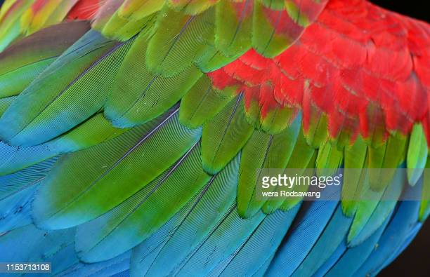 feather detail of macaw have multicolored blue, green and red . texture of  beautiful bird feathers  close up line detail - arara azul grande imagens e fotografias de stock