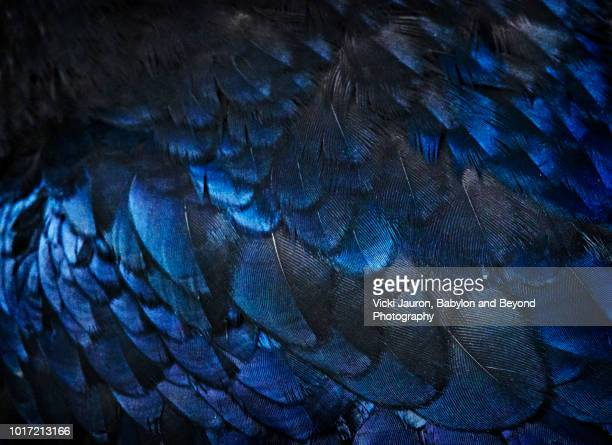 feather details and texture of black raven in glacier national park - 羽飾り ストックフォトと画像