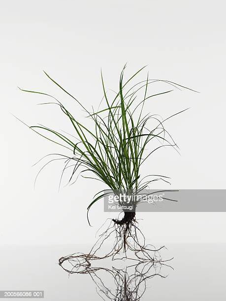 Feather grass (Stipa tenuissima) seedling on white background