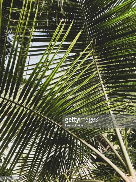 feather leaf palm - emma baker stock pictures, royalty-free photos & images