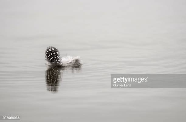 feather of the helmeted guineafowl (numida meleagris) floats on the water surface, mashatu game reserve, tuli block, botswana - guinea fowl stock pictures, royalty-free photos & images