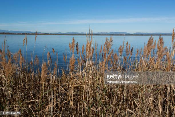feather reed grass in front of a calm lake on a sunny day with clear blue sky - catalogne photos et images de collection