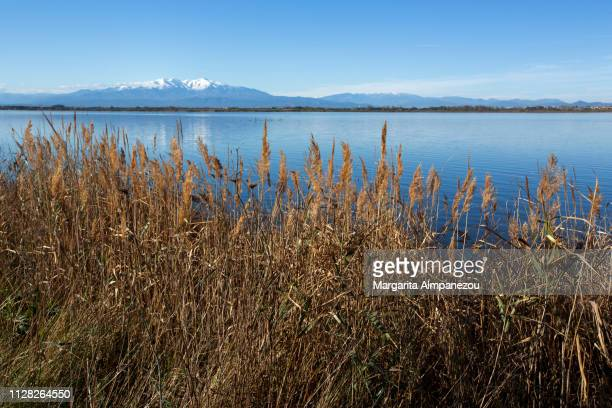 Feather reed grass in front of a calm lake on a sunny day with clear blue sky