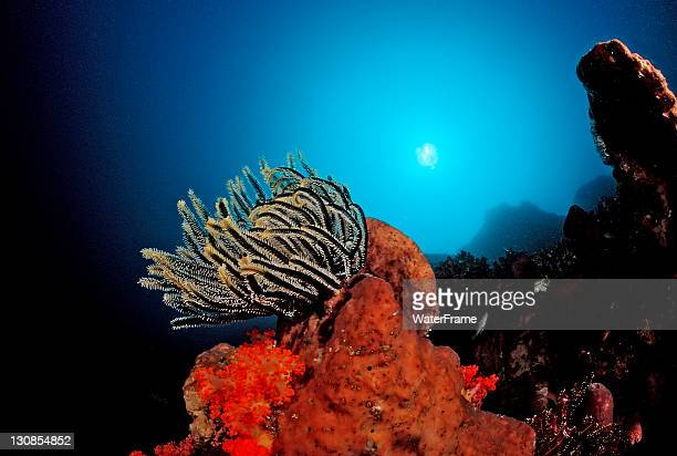feather star (crinoidea) on coral reef, komodo, indo-pacific, indonesia, southeast asia - crinoidea stock pictures, royalty-free photos & images