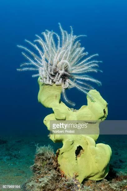 Feather star (Comaster alternans) sitting on elephant ear sponge (Ianthella basta), yellow, Palawan, Mimaropa, Sulu lake, Pacific Ocean, Philippines