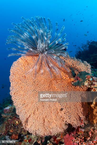 Feather star (Dichrometra flagellata) sitting on red coral (Acabaria splendens), Palawan, Mimaropa, Sulu lake, Pacific, Philippines