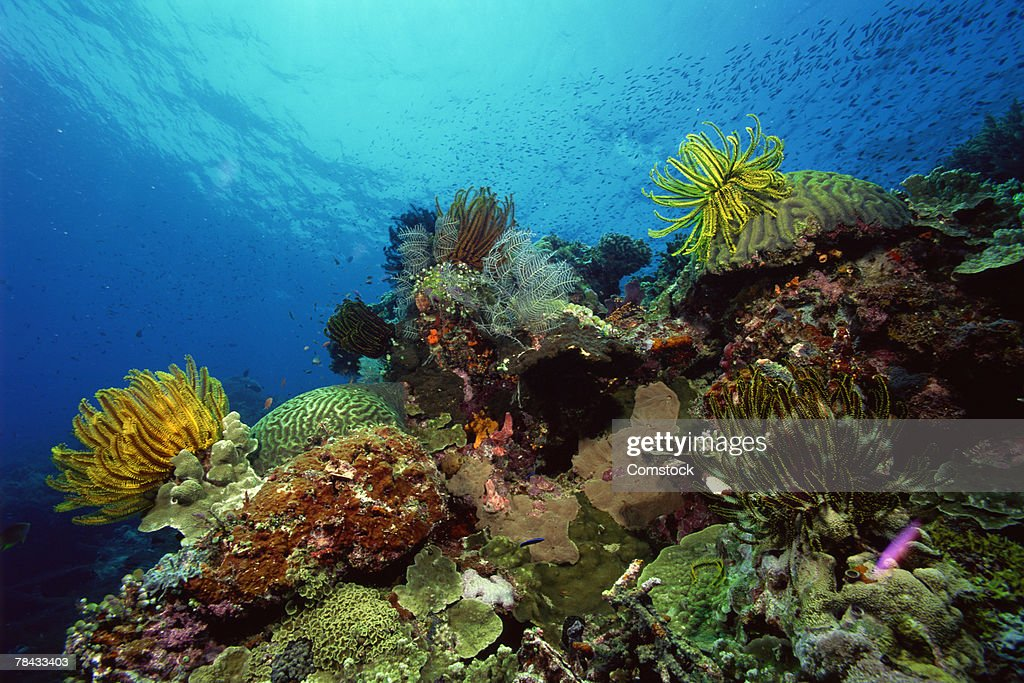 Feather stars with hard and soft corals , Malaysia : Stockfoto
